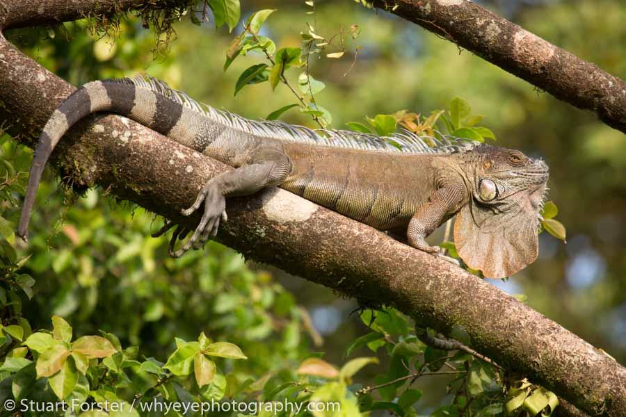 Green iguana (Iguana iguana) basking in a tree in Costa Rica.