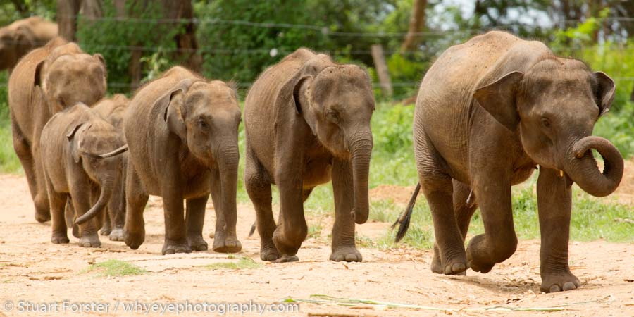 Elephants marching to be fed at the Udwawalawe Elephant Transit Home in Uwawalawe National Park.